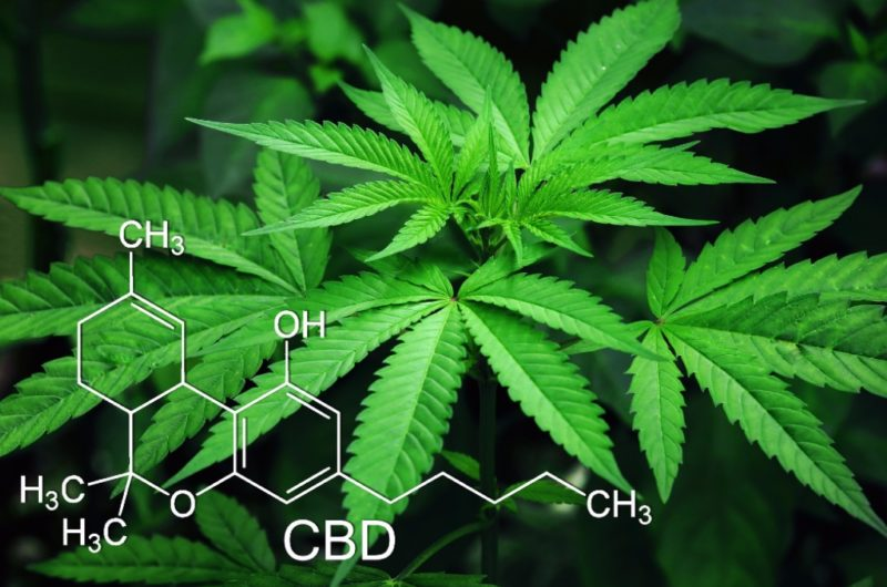 cbd shown where on leaf marijuana hemp chemistry